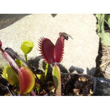 Dionaea muscipula. Muchołówka amerykańska. NASIONA
