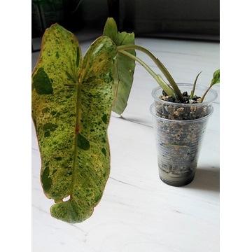 Philodendron Paraiso Verde RARYTAS KOLEKCJONERSKI