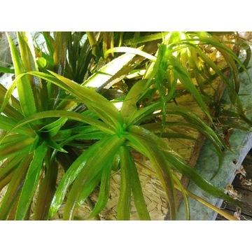 Osoka Aleosowata - roślina pływająca do stawu