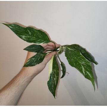 Skrzydłokwiat, Spathiphyllum Gemini, Variegata