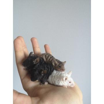 Myszy Rasowe, Myszki Rasowe, Myszy, Myszki