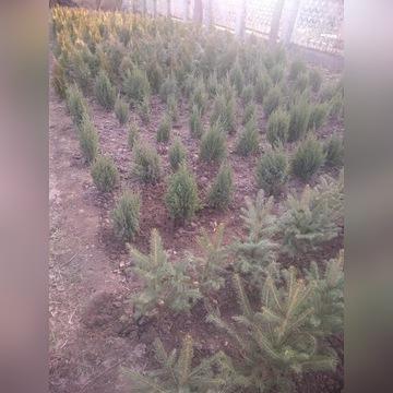 Sadzonki drzew i krzewów Leśne i ozdobne