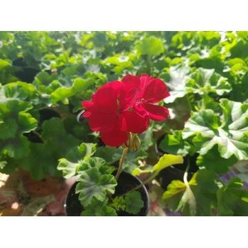 Kwiaty rabatowe Pelargonie Petunie Begonie Koleusy