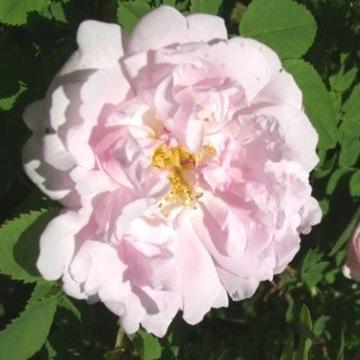Róża gęstokolczasta 'Ruskla'