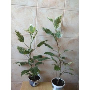 Hibiskus Snow Queen liście variegata sadzonka