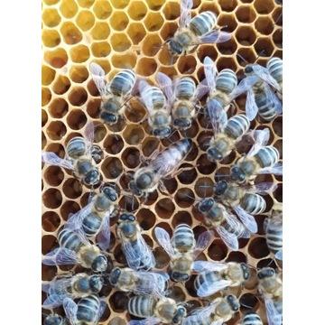 Matka pszczela Buckfast unasiennione