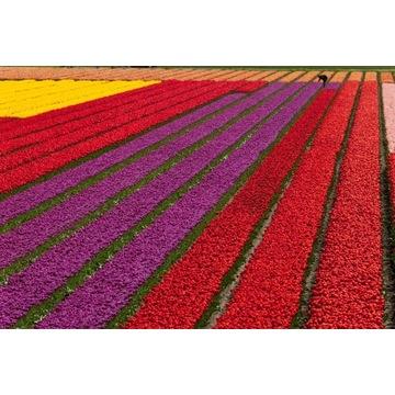 Tulipany hurt import Holandia