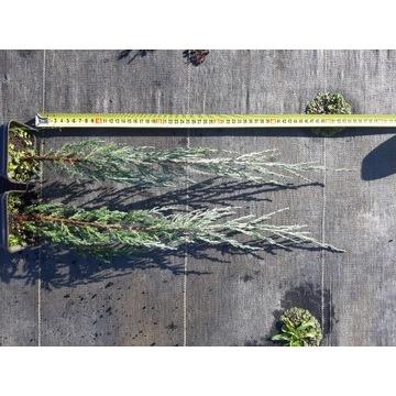 Jałowiec Blue Arrow wys 45cm +