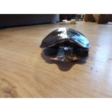 Żółw wodno lądowy