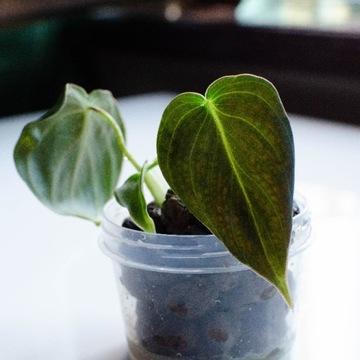 Philodendron Melanochrysum, filodendron sadzonka 2