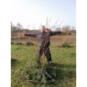 Ośmioletnie krzewy Borówki Amerykanskiej