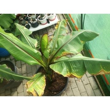 Bananowiec Ensete Ventricosum Maurelli