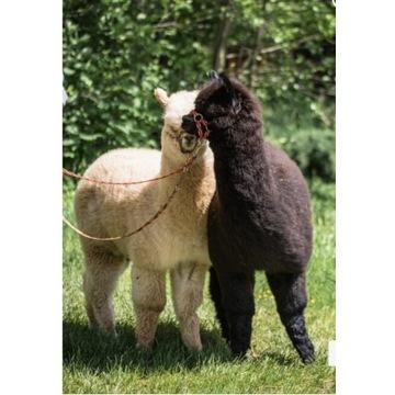 Alpaki spacery z Alpakami wędkowanie nauka