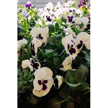 BRATKI kwiaty w doniczce