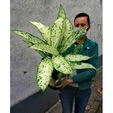 Diffenbachia Vesuvius kwiat doniczkowy domowy