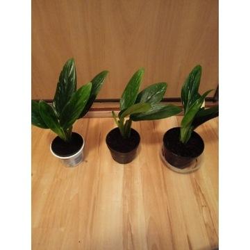 Philodendron Cobra / Monstera Stanleya variegata