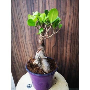 Ficus Bonsai Microcarpa Ginseng