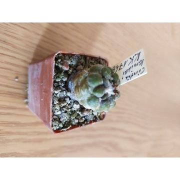Kaktusy Cintia knizei KK1768