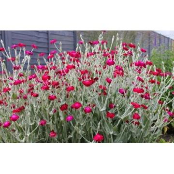 FIRLETKA zimozielona bylina amarant nasiona