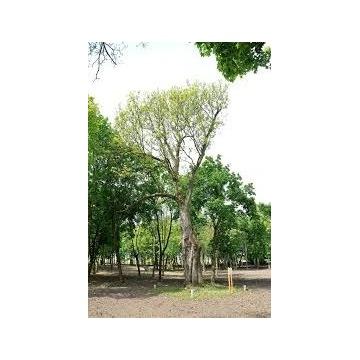 Drzewo jesion na pniu