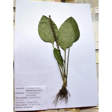 20 GATUNKÓW ROŚLINY z korzeniami, zielnik zielniki