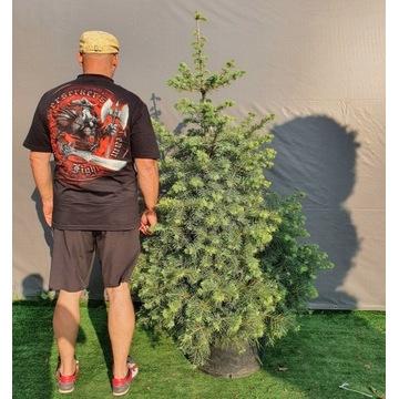 Abies concolor jodła jednobarwna kalifornijska 2m