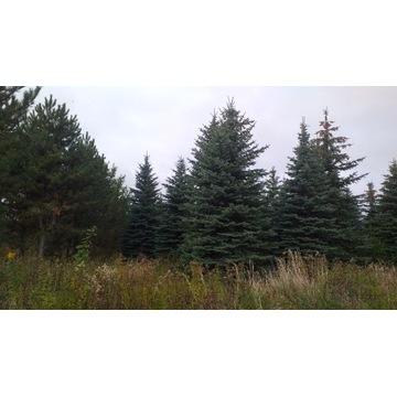 Dorosłe 20-25letnie drzewa