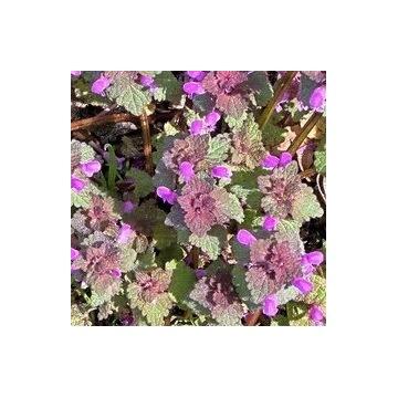Jasnota purpurowa ziele kwiat świeża 500g sadzonki