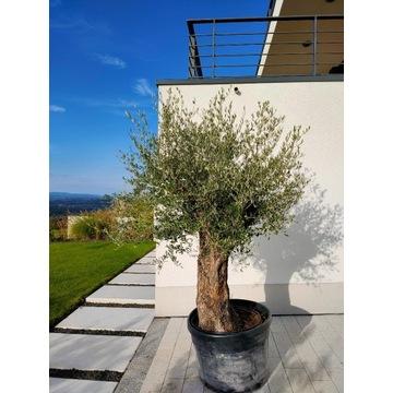 Drzewo drzewko oliwne OLEA EUROPAEA LESSINI