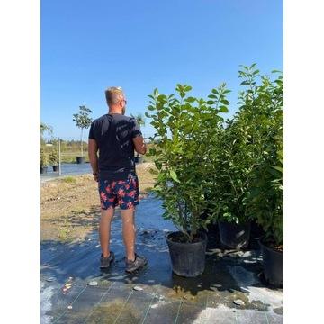Laurowiśnia wschodnia Novita (Prunus Laurocerasus)