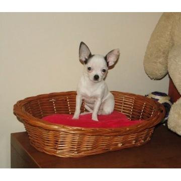 Chihuahua śliczna biała suczka