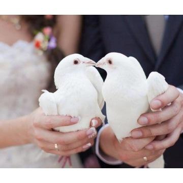 * Białe gołębie na ślub *
