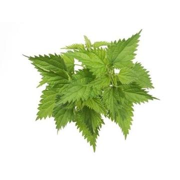 Suszone liście pokrzywy