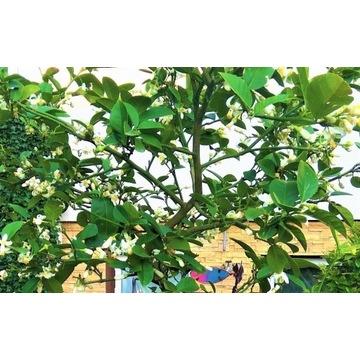Cytryna skierniewicka- 10-cio letnie drzewko