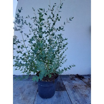 Eukaliptus parvifolia 5l larytas real foto Wysyłka