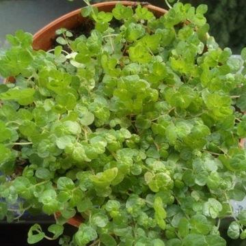 Soleirolia rozesłana - Dziecięce Łzy - Irish moss