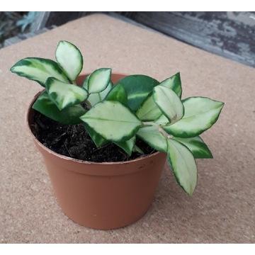 Hoya heuschkeliana variegata - gęsta sadzonka