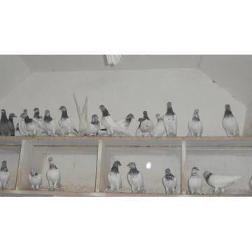 Gołębie -budapeszty