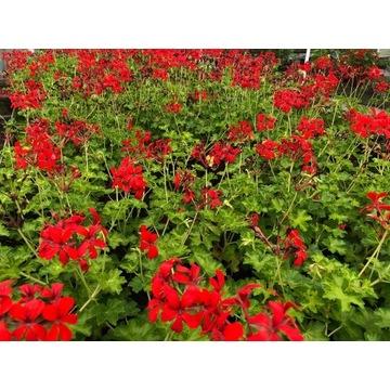 Czerwona wisząca pelargonia - duża sadzonka
