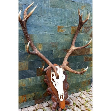 Poroże jelenia byka oprawione na desce