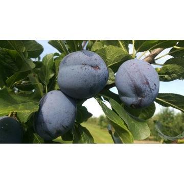 Śliwa węgierka duży owoc Producent