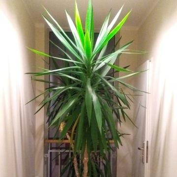 Jukka /Yucca/  roślina, duża, ze 2 m.