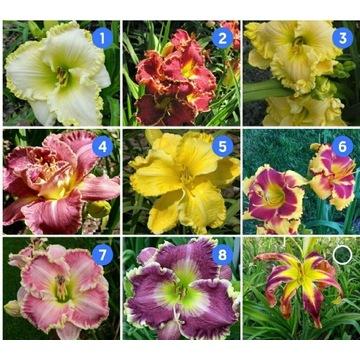 Przepiękne liliowce liliowiec odmianowy