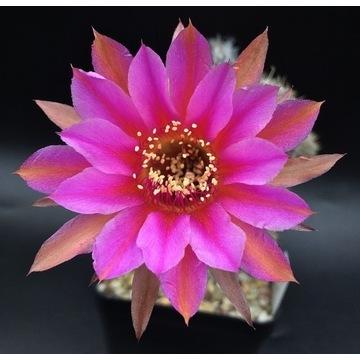 Kaktus Echinopsis-Lobivia hybryd ESL169