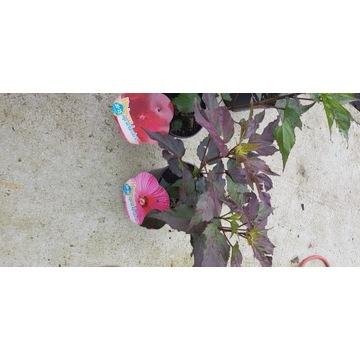 Hibiscus moscheatus