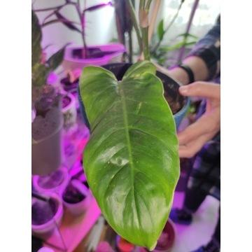 Philodendron subhastatum Filodendron