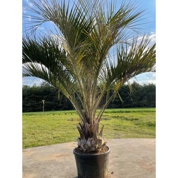 Palma mrozoodporna Butia Capitata