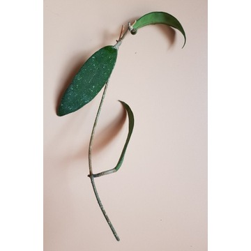 Hoya Scortechinii Pink, cięta sadzonka