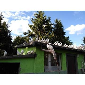Sprzedam 30 młodych gołębi