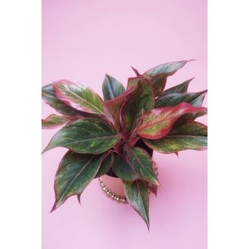 Aglaonema CRETE roślina doniczkowa